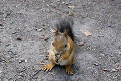 吃坚果的小的逗人喜爱的灰鼠 免版税库存照片