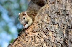 吃坚果的灰色灰鼠 图库摄影