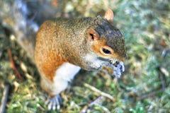 吃坚果的灰鼠 免版税图库摄影