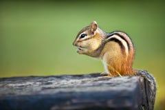 吃坚果的狂放的花栗鼠 免版税库存照片