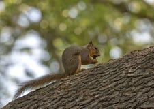 吃坚果的狐狸松鼠在一个大树枝,达拉斯树木园栖息 免版税库存图片