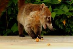 吃坚果的白色被引导的浣熊反对绿色背景在Yulum,墨西哥 免版税库存照片