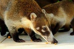 吃坚果的白色被引导的浣熊反对绿色背景在Yulum,墨西哥 免版税库存图片