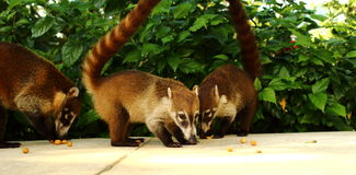 吃坚果的白色被引导的浣熊反对绿色背景在Yulum,墨西哥 图库摄影
