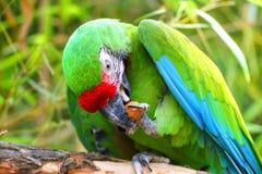 吃坚果的绿色军事金刚鹦鹉 免版税库存照片