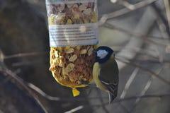 吃坚果的逗人喜爱的鸟 免版税图库摄影