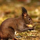 吃坚果的饥饿的灰鼠 免版税图库摄影
