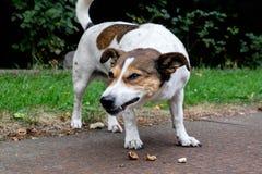 吃坚果-胡桃钳的狗 免版税库存照片