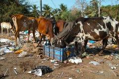 吃垃圾的母牛在果阿,印度 免版税库存照片