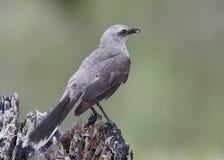 吃壁虎-巴拿马的热带模仿鸟 免版税库存图片