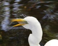 吃多雪白鹭的鱼 库存照片