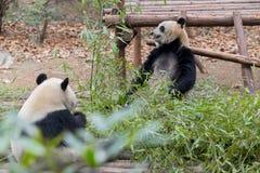 吃大熊猫的竹子 免版税库存照片