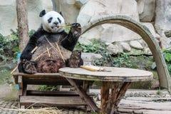 吃大熊猫的竹子 图库摄影