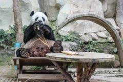 吃大熊猫 库存图片