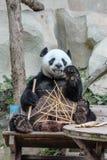吃大熊猫 库存照片