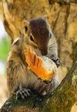 吃大面包的花栗鼠 免版税库存照片