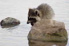 吃它的抓住的浣熊 图库摄影