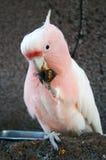 吃它的食物的鹦鹉 免版税库存照片