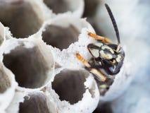 吃它的年轻工人黄蜂细胞宏指令英尺长度` s出口  库存图片