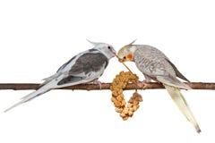 吃小米的小形鹦鹉隔绝在白色背景 库存照片