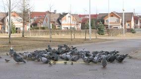 吃小米的鸽子群在都市公园 影视素材
