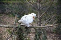 吃小鸡的斯诺伊猫头鹰 图库摄影