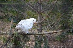 吃小鸡的斯诺伊猫头鹰 免版税库存照片