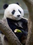 吃少年公熊猫的竹熊汉语 免版税库存图片