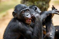 吃少年倭黑猩猩画象  库存图片