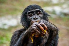吃少年倭黑猩猩画象  免版税库存图片