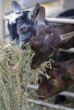 吃山羊的婴孩 库存照片