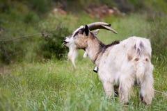 吃山羊草的响铃 免版税库存照片