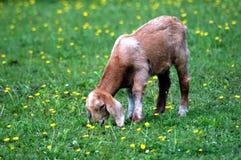 吃山羊草绿色草甸的婴孩 免版税库存照片