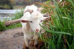 吃山羊草 库存照片