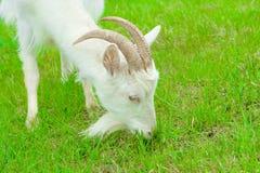 吃山羊 免版税图库摄影