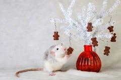 吃巧克力曲奇饼的装饰鼠 库存照片