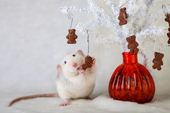 吃巧克力曲奇饼的装饰鼠 免版税库存照片