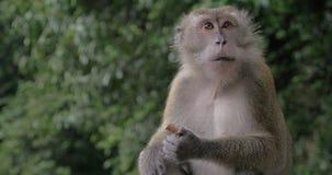 吃巧克力糖的猴子 股票视频
