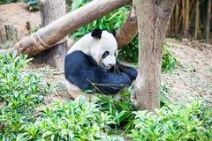吃巨型绿色叶子熊猫的竹子 免版税库存照片