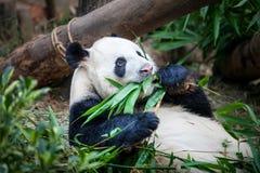 吃巨型绿色叶子熊猫的竹子 库存图片