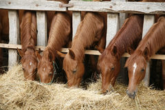 吃干草农村场面的五匹幼小纯血统马 库存照片