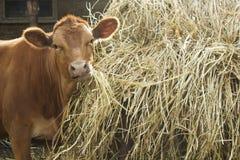 吃干草在堆干草附近和看照相机的逗人喜爱的公牛 免版税图库摄影