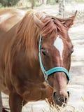 吃干草的一匹美丽的繁殖的棕色枪口马的画象 r 库存照片