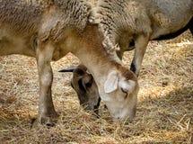 吃干草的两只山羊 免版税库存图片