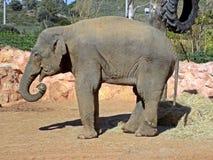 吃干草的亚洲大象 库存照片