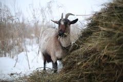 吃干草的冬天毛茸的山羊在堆 库存照片