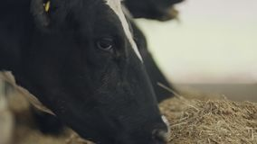 吃干草的奶牛在奶牛场的大槽枥 股票视频