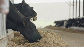 吃干草的奶牛在奶牛场的大槽枥 股票录像