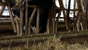 吃干草的家畜在谷仓 吃草在现代农场的牛母牛 股票录像