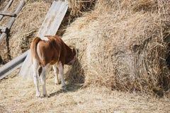 吃干草的小牛在干草堆埋没了他的头 库存照片